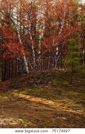 birch with red foliage in autumn forest
