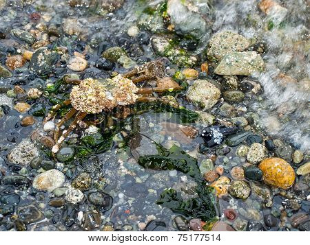Crab Covered In Barnacles Walking On A Pebble Beach
