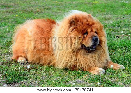 Brown Friendly Chow-chow Dog In The Green Grass.