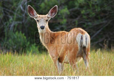 Mule Deer At Sunsef