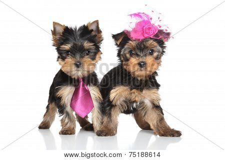 Yorkshire Terrier Pair