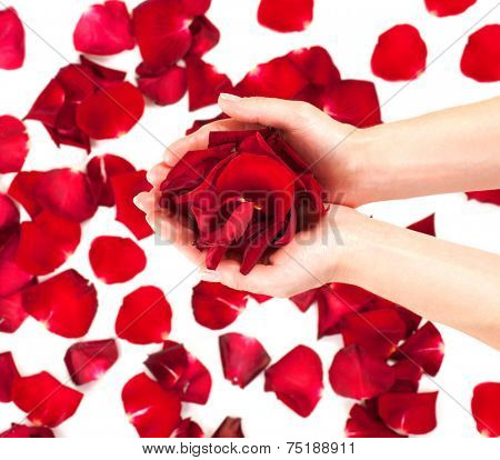 Rose petals in female hands over white background. Aromatherapy, spa concept. Beauty woman's hands taking heap or red roses petals