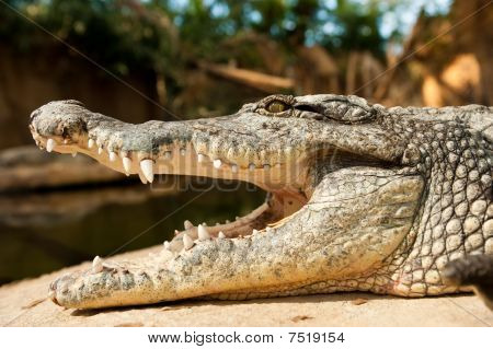 Close-up Of A Crocodile