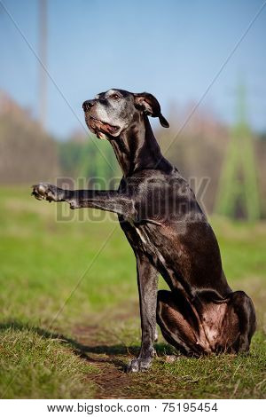 giant black dane dog outdoors