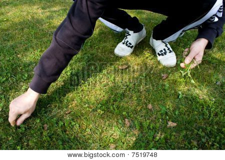 Man Pulling Weeds From The Lawn