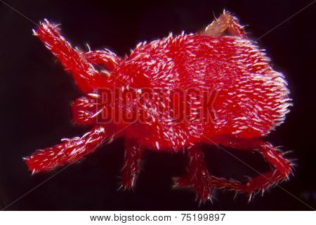 Nymph Of A Trombidium Holosericeum