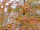 picture of chokeberry  - branch chokeberry with autumn leaves close up - JPG