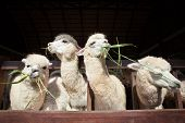 image of alpaca  - llama alpacas eating ruzi grass in mouth rural ranch farm - JPG