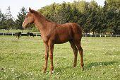 stock photo of foal  - Pretty foal stands in a summer paddock - JPG