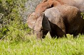 image of elephant ear  - elephant young with parent behind moving its ears while eating in long grass - JPG