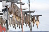 stock photo of halibut  - Greenland halibut drying on a wooden rack in Ilulissat - JPG