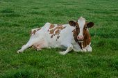 stock photo of moo-cow  - A brown and white Red Holstein cow laying in a field - JPG
