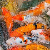 pic of koi fish  - Colorful Koi or carp chinese fish in water - JPG