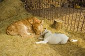 stock photo of cattle dog  - A dog and a calf playing together - JPG
