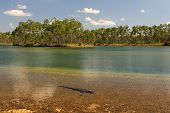 image of gator  - Alligator in Scenic Lake at Long Pine Key - JPG