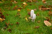 picture of toadstools  - Two shaggy Ink Cap Toadstools in wet autumn grass surrounded by fallen Beech leaves - JPG