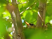 stock photo of dogwood  - Robin Red Breast in a Nest in a Green Leafy Dogwood Tree - JPG