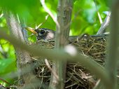 foto of dogwood  - Robin Red Breast in a Nest in a Green Leafy Dogwood Tree - JPG