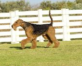picture of stubborn  - A profile view of a black and tan Airedale Terrier dog walking on the grass looking happy - JPG