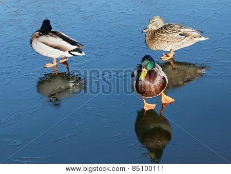 Three Mallards On Ice