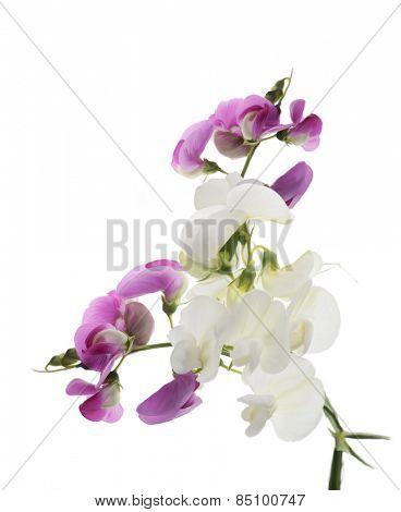 Digital Painting Of  Sweet Pea Flowers