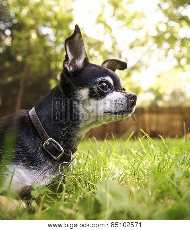 a cute chihuahua in the grass looking alert