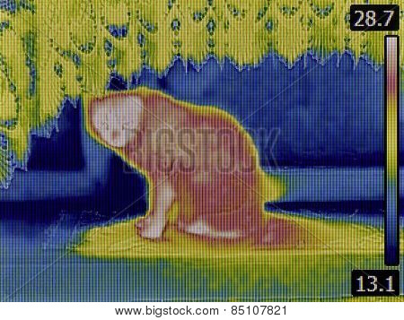 Thermal Image of Domestic Cat