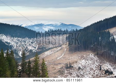 Green pines on the background of snow-capped mountains