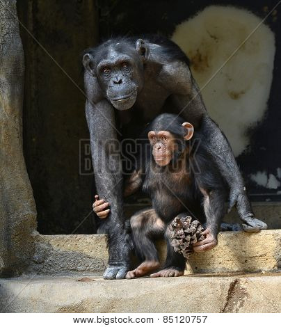 Beautiful Portrait of a father chimpanzee and Child