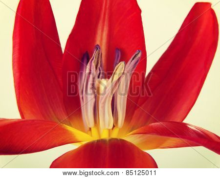 One separated open red tulip flower.