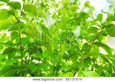 Green Tree foliage in a beautiful summer garden.