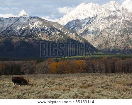 Lone Moose Grazing against the Grand Teton Mountain Range