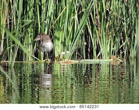The Swamp Chicken 3-4 Months Old In The Reeds