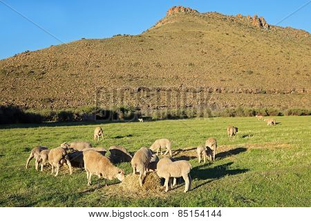 Merino sheep grazing on lush green pasture in late afternoon light, Karoo region, South Africa