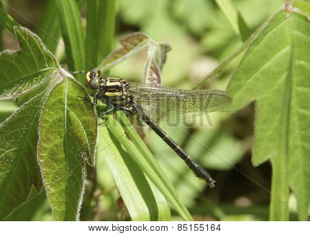 Southern Pigmy Clubtail Dragonfly