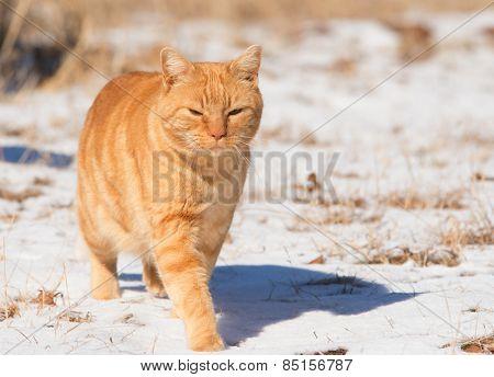 Orange tabby cat walking in snow in bright sunshine