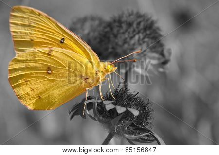 Clouded Sulphur butterfly feeding on Indian blanket flower, color spot on black and white