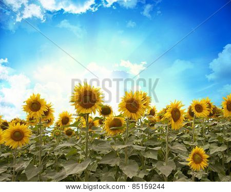 Field of flowers of sunflowers