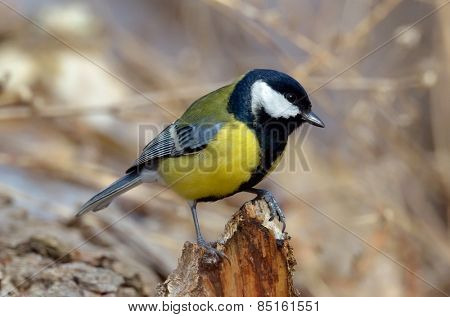 great tit on branch in spring (parus major)