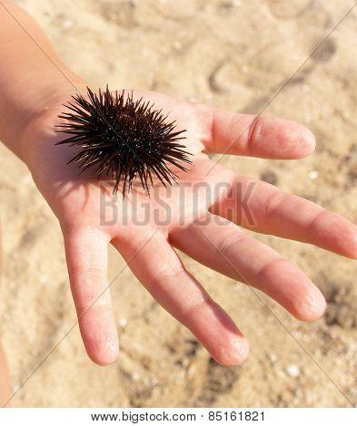 Urchin  on human hand
