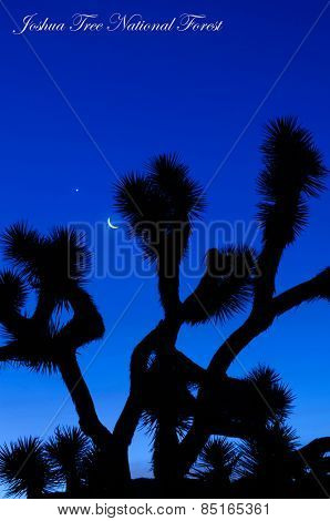 Moonrise at dawn in the Joshua Tree National Forest