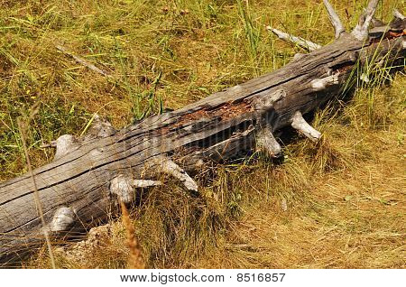 Old Knotty Log