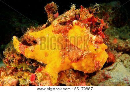 Painted Frogfish (Anglerfish) (Antennarius pictus)
