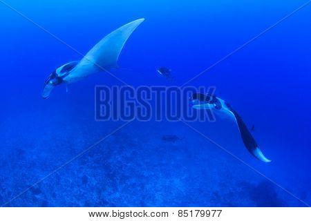 Two Manta Rays