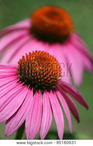 Twin Pink Echinacea Coneflower Daisies