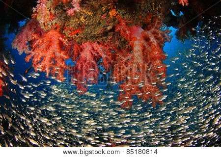 Coral Reef with swarms of Glassfish (Golden Sweeper fish)