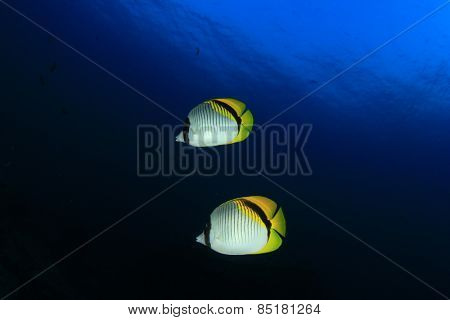 Pair Lined Butterflyfish