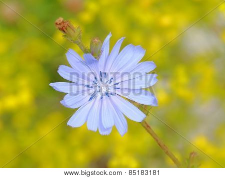 chicory wildflower on yellow background in Sinjajevina mountain, Montenegro
