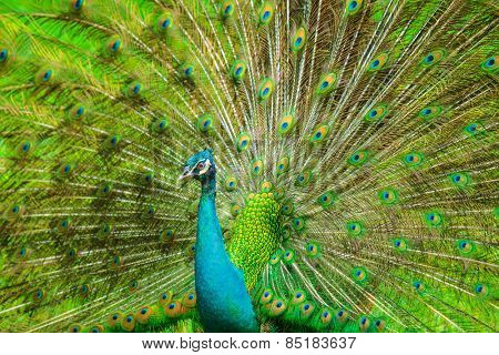 The Indian peafowl male displaying