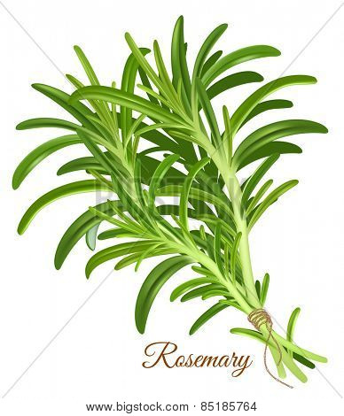 Fresh rosemary. Vector illustration.